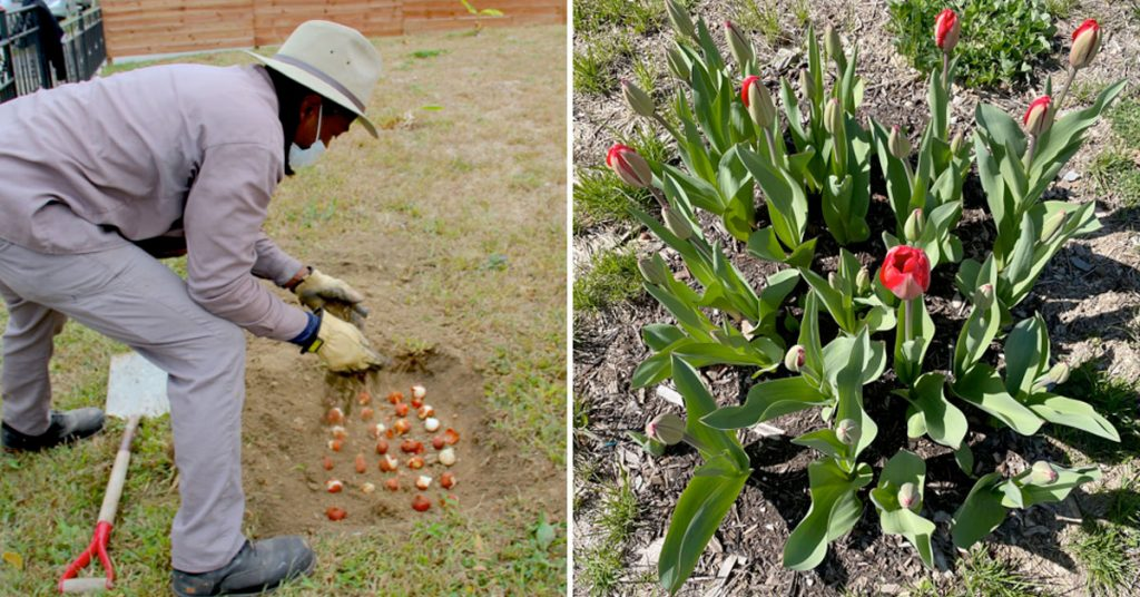 Bulbs planted by the Garden Team last fall are now blooming flowers.